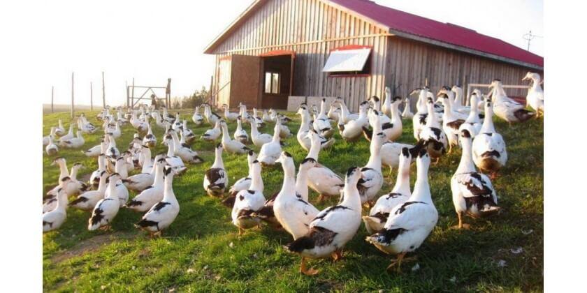 Pourquoi un foie gras fermier artisanal est meilleur au goût et que sa qualité est meilleure